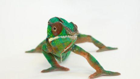 Co się stanie gdy kameleon spojrzy w lustro?