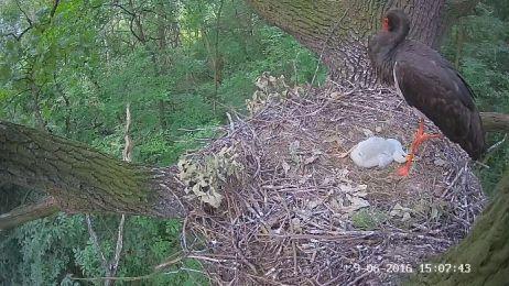 Transmisja z gniazda bociana czarnego