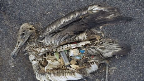 Do 2050 KAŻDY morski ptak będzie nosił w sobie plastik