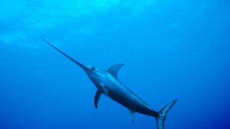 Naturalny olej napędza jedną z najszybszych ryb świata