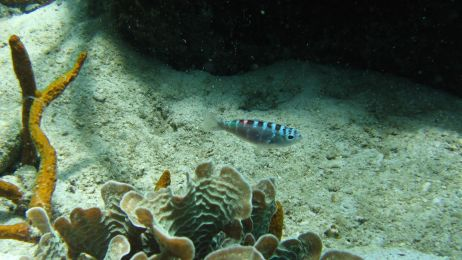 Te ryby potrafią zmieniać płeć kilkanaście razy dziennie! Po co? Ciekawy powód