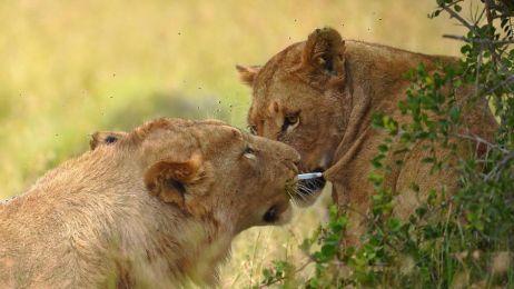 Ten lew chce ją uratować? Próbuje wyszarpać strzałkę ze środkiem usypiającym z ciała lwicy