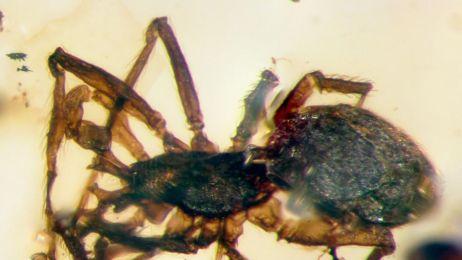 Ma zęby w ksztalcie rogów i jest pająkiem. Mało? Żył w czasach dinozaurów