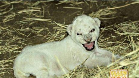 Biały lew w Teksasie