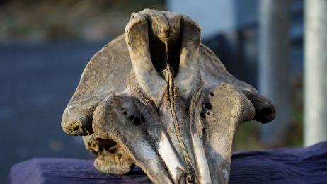 Na Alasce odkryto nowy tajemniczy gatunek wieloryba. Nie uwierzysz gdzie go odnaleziono