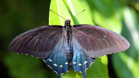 Ten człowiek postanowił samodzielnie uratować cały gatunek motyli. Możesz mu pomóc w bardzo prosty sposób