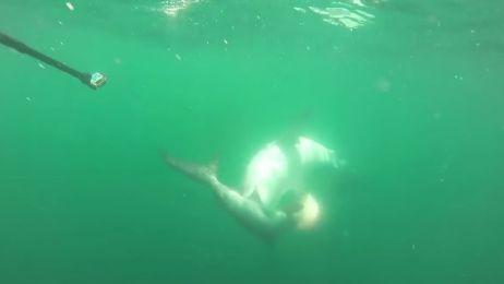 Na śmierć i życie. Zobacz pojedynek rekina młota z żarłaczem tygrysim [VIDEO]