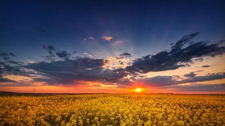 Zachód słońca nad polem rzepaku