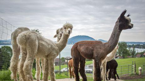 Z wizytą u alpak w Weyregg