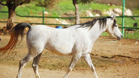 Co mają wspólnego wikingowie i specyficzny chód koni? Zdziwisz się, jak to przeczytasz