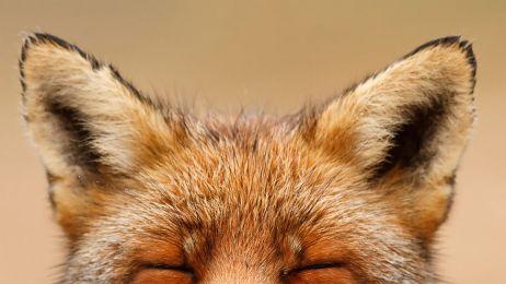 Lis zadowolony