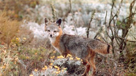 To świetna wiadomość! Udało się uratować zagrożony wyginięciem gatunek lisa