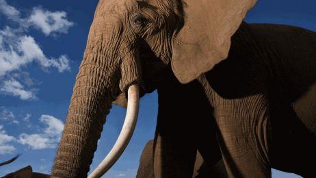 Namibia i Zimbabwe chcą przywrócić handel kością słoniową