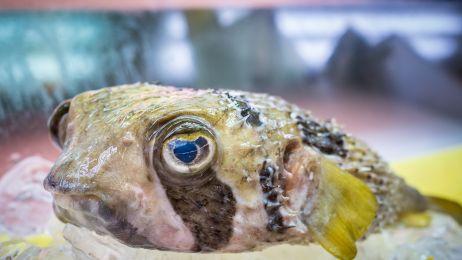 Zabójcza ryba. Pomyłka przy jej przygotowaniu oznacza śmierć