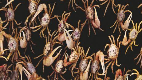 """Jak wygląda """"podryw"""" u krabów"""