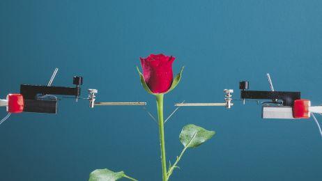 Róża cyborg