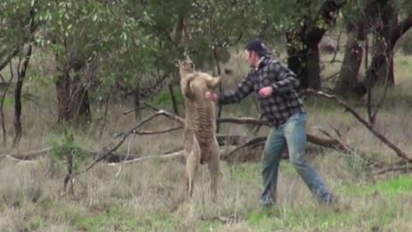 Walka człowieka z kangurem w obronie psa