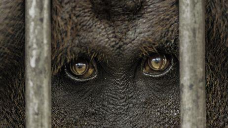 """W ich oczach odbija się ludzkość. Orangutany mają """"kulturę"""". Możemy nie zdążyć jej poznać"""