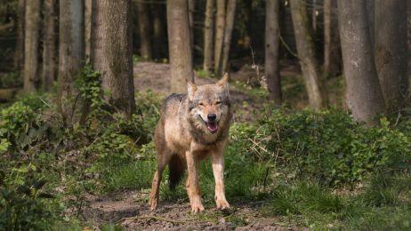 Wilki w Karkonoszach