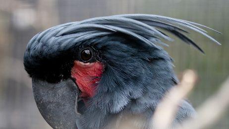 Kakadu palmowa
