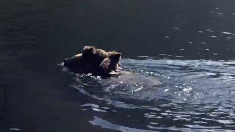 Przeprawa niedźwiedzicy przez rzekę