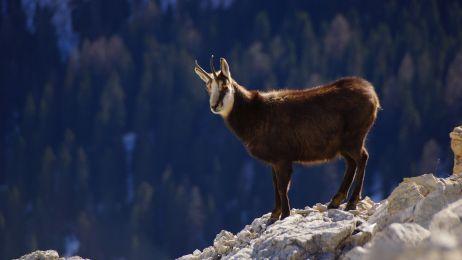 Policzono kozice w Tatrach