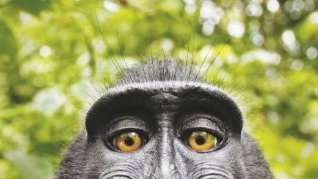 Najsłynniejsze małpie selfie