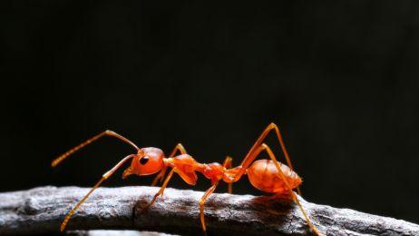 Mrówka czerwona zwana wścieklicą