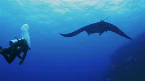 Manta - gatunek ryby orleniokształtnej