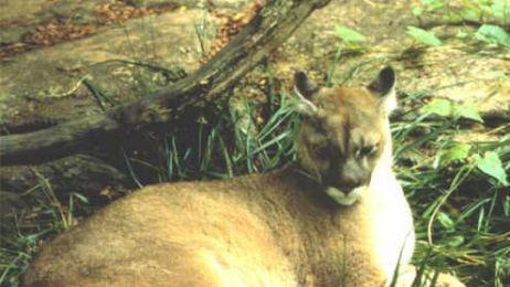 Puma wschodnia