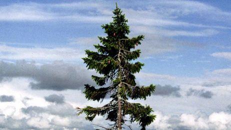 Najstarsze drzewo