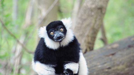 Wesoły lemur