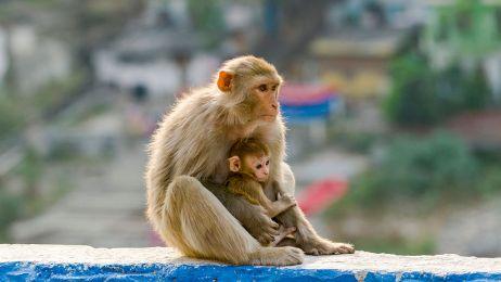 Małpy z gatunku rezusów