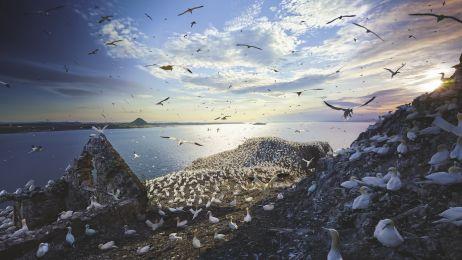 Głuptaki zwyczajne Bass Rock, Szkocja