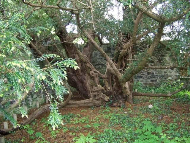 1. Zdjęcie  - To drzewo ma kilka tysięcy lat i właśnie... zmienia płeć
