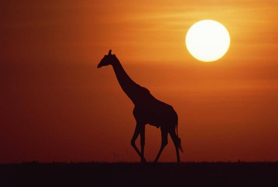 14 spotkań z żyrafami - 14 spotkań z żyrafami. Najdłuższy dzień roku to ich święto