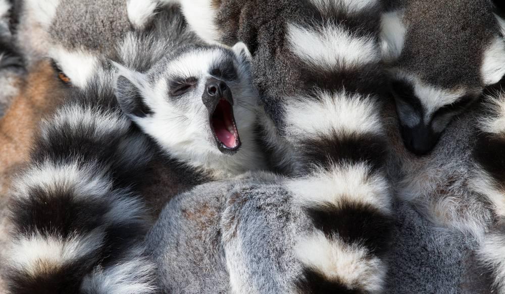 Lemur - Czy ziewaniem można się zarazić? Zobacz te 13 zdjęć i się przekonaj