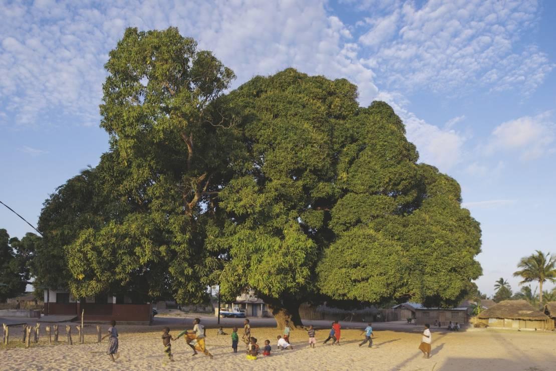 MANGO INDYJSKIE - Naunde, Mozambik - 8 wyjątkowych drzew. Są dla nas inspiracją i pocieszeniem