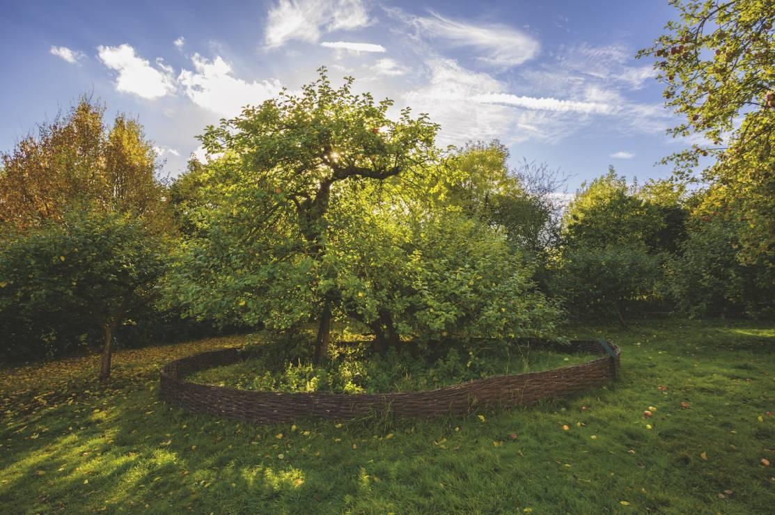 JABŁOŃ NEWTONA - Lincolnshire, Anglia - 8 wyjątkowych drzew. Są dla nas inspiracją i pocieszeniem