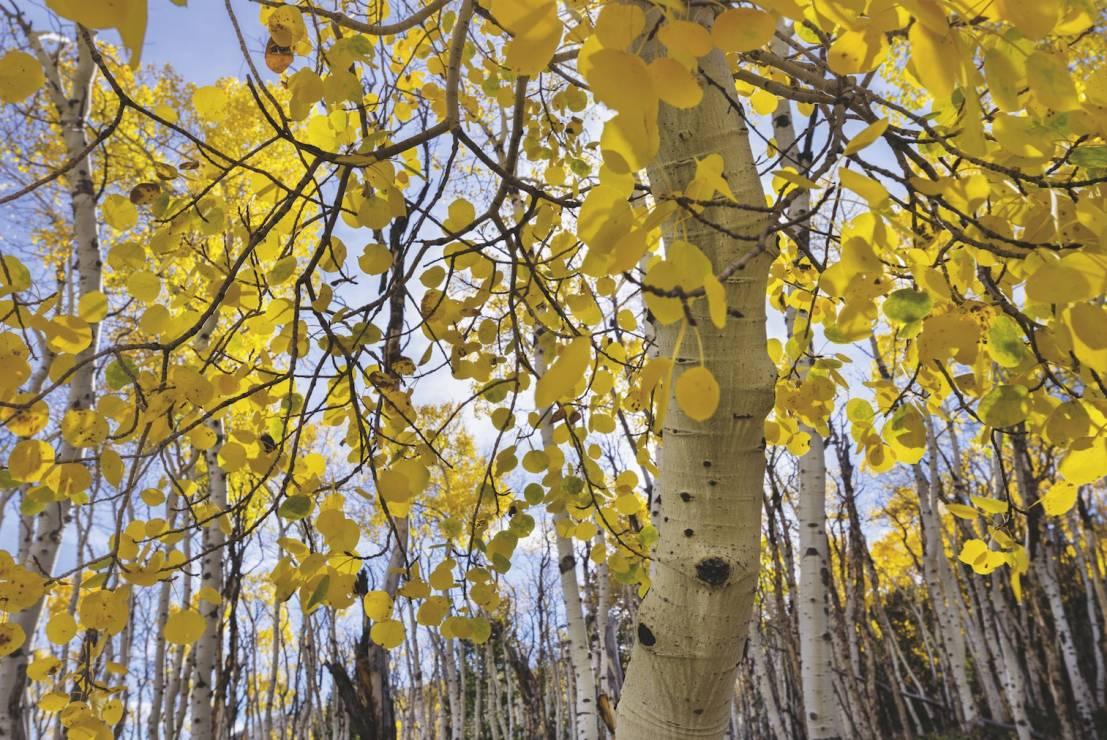 TOPOLA OSIKOWA - las państwowy Fishlake, Utah, Stany Zjednoczone - 8 wyjątkowych drzew. Są dla nas inspiracją i pocieszeniem