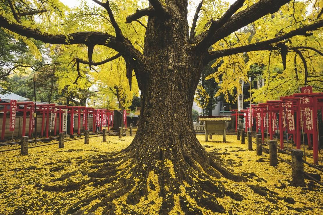 DZIECIODAJNY MIŁORZĄB - Tokio, Japonia - 8 wyjątkowych drzew. Są dla nas inspiracją i pocieszeniem