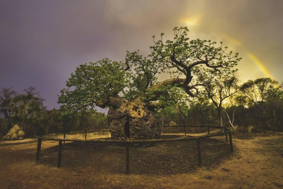 BAOBAB AUSTRALIJSKI - Derby, Australia - 8 wyjątkowych drzew. Są dla nas inspiracją i pocieszeniem