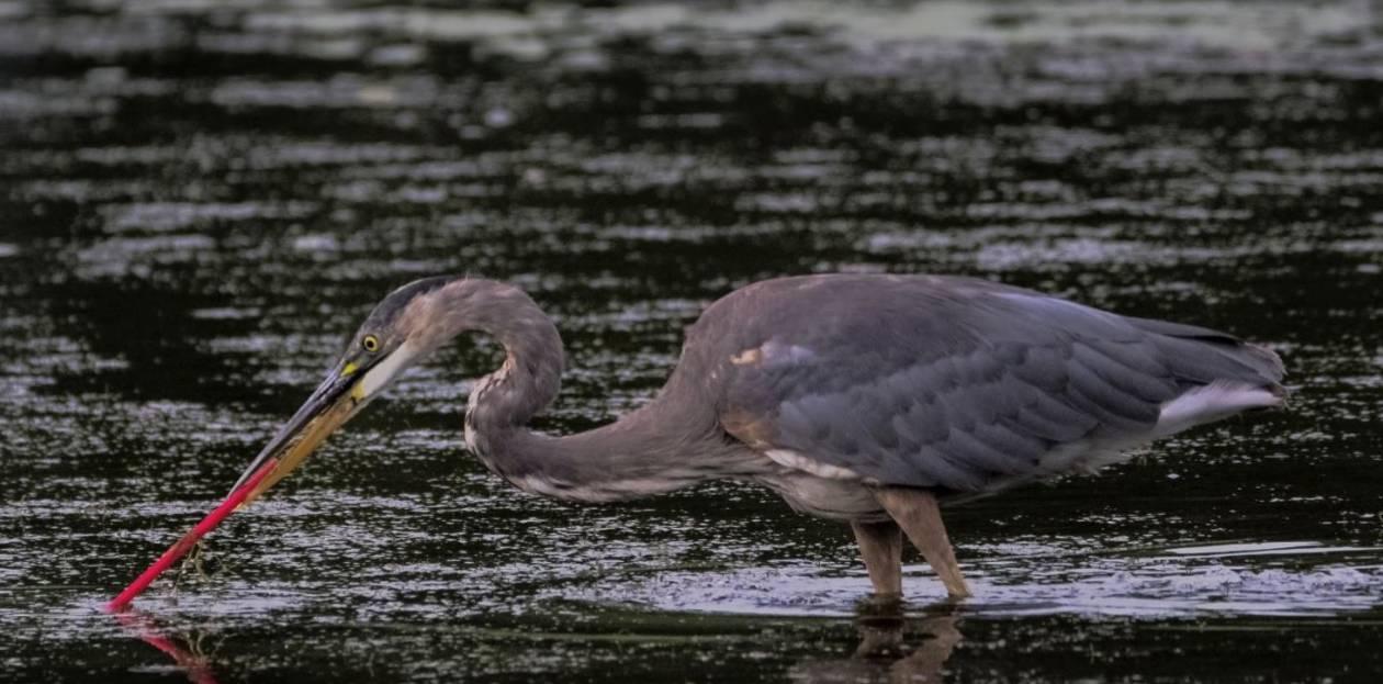 4. Ptaki są na niego skazane - 10 szokujących faktów na temat plastiku. Do 2050 roku wszystkie gatunki morskich ptaków będą go jeść